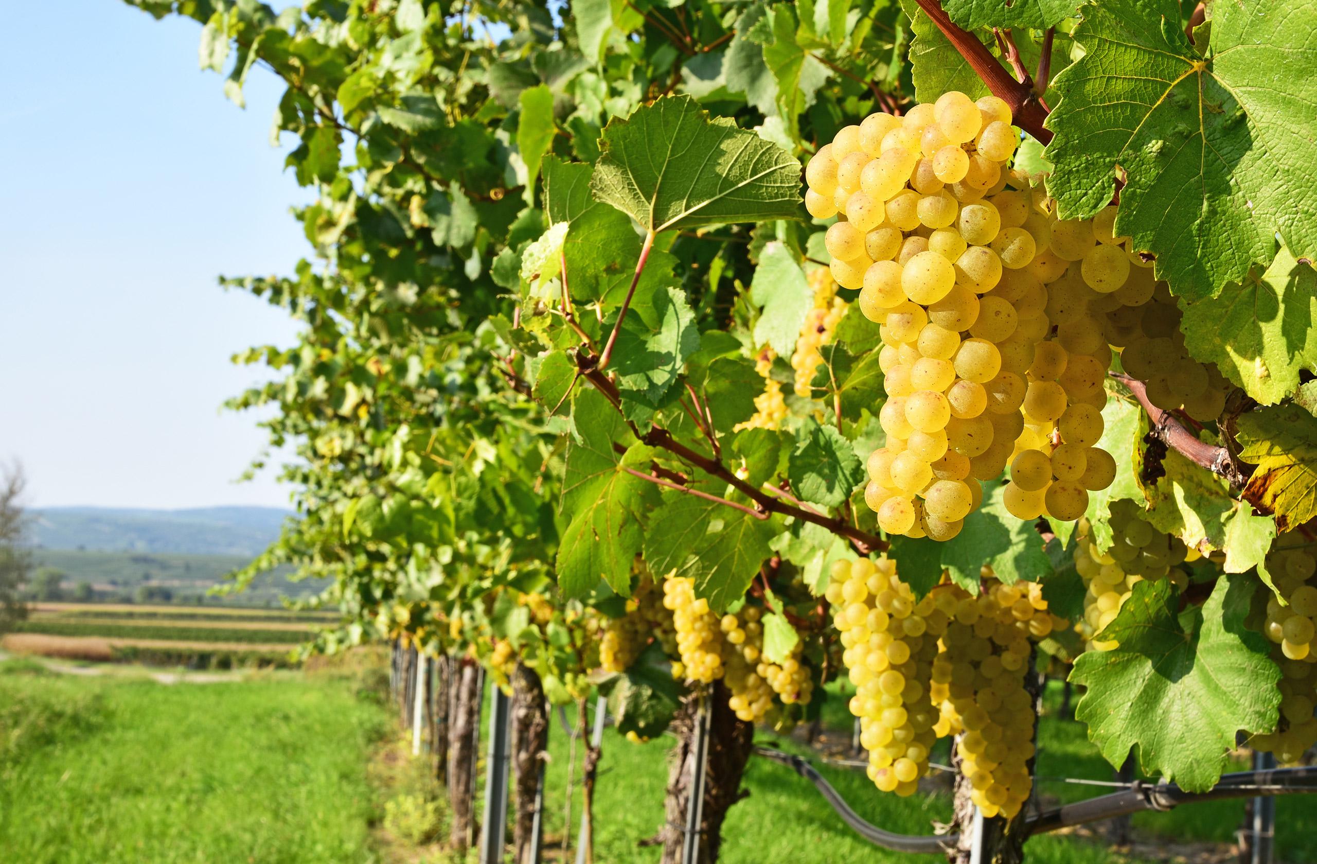 Grüner Veltliner Grape Variety