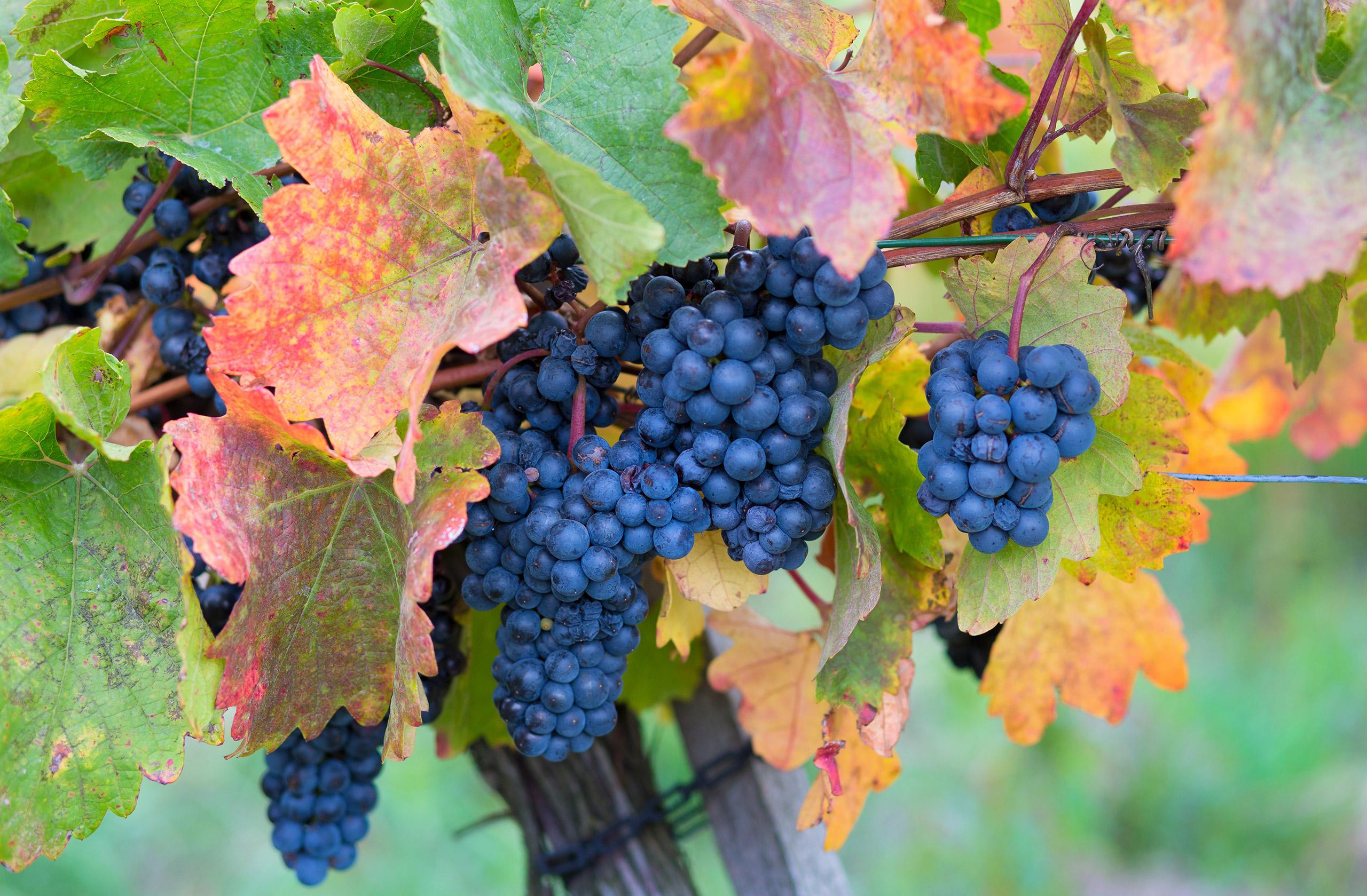 Sankt Laurent Grapes