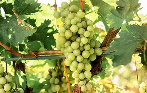 Pinot Blanc / Bianco